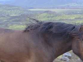Random horses on the drive to Landmannalaugar (after defeat from the elements)